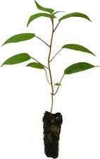 3 x Minikiwi Pflanzen Set Beerenkiwi Trauben-Kiwi Kiwai Kiwibeere winterhart