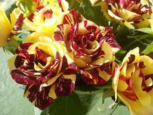 Abracadab-Rose-Seeds-Red-amp-Yellow-Striped-Hybrid-Tea-Rose-Climbing-10-Seeds