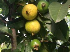 50 Pink Guava Seeds