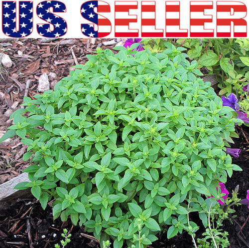 ORGANICALLY GROWN Basil Seeds Heirloom NON-GMO Tulsi Thai Genovese Opal Greek US