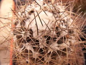 10 Ferocactus acanthodes SEMI SEEDS CACTUS PIANTE KORN no ariocarpus