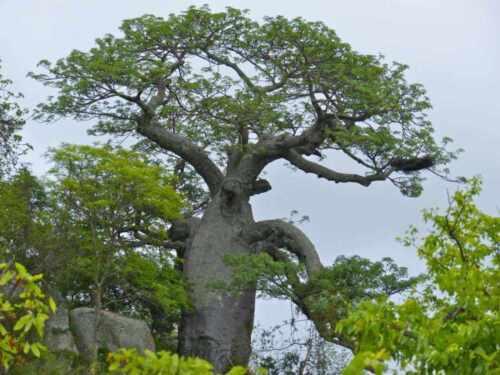200 seeds Adansonia digitata baobab monkey-bread tree dead-rat tree