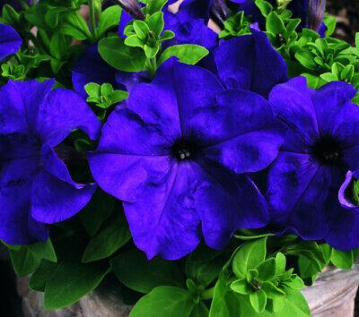 10 SEEDS F1 TRAILING PETUNIA SUPERCASCADE BALCONY BLUE Petunia grandifl#1131