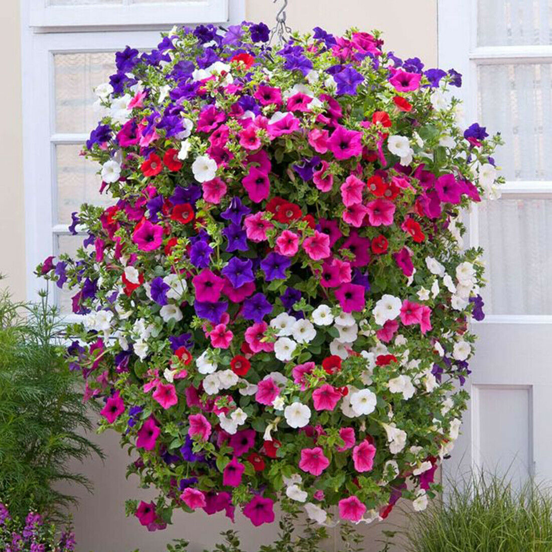 50 Trailing Petunia Colourful Mix Seeds Hanging Basket Window Box Planter Flower