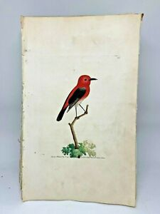 Cardinal-Creeper-Bird-1783-RARE-SHAW-amp-NODDER-Hand-Colored-Copper-Engraving