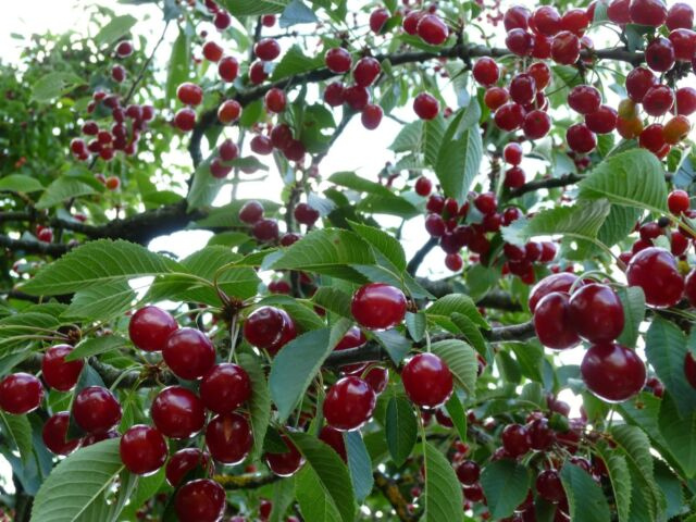 2 Dwarf Van Cherry Tree 1 2 Ft Flowering Fruit Trees Plants Farm