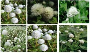 White gomphrena snowball annual flowers 25 seeds ebay image is loading white gomphrena snowball annual flowers 25 seeds mightylinksfo