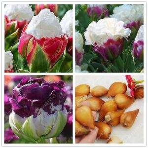 True Tulip Bulbs Not Tulip Seeds Bonsai Flower Bulbs Ice Cream