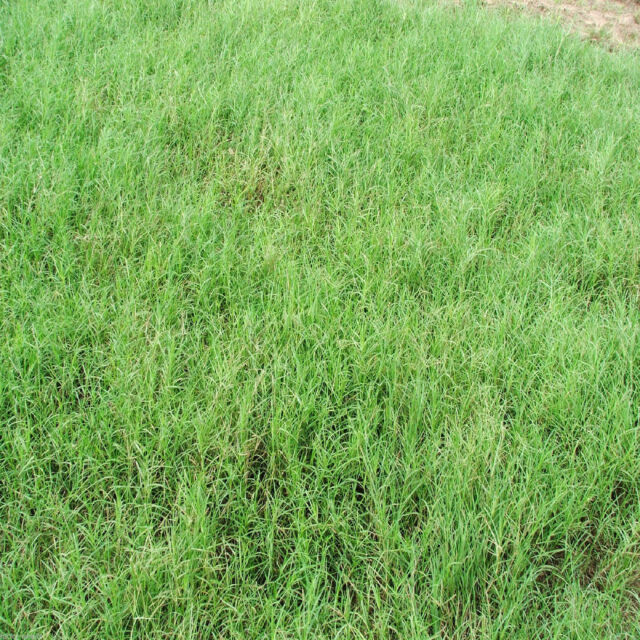Giant Bermuda Grass Seeds Hulled 2 Lbs Bulk Bag