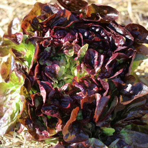 Seeds HEIRLOOM vegetable garden ALL SEASON salad green Details about  /LETTUCE Oakleaf Red 150