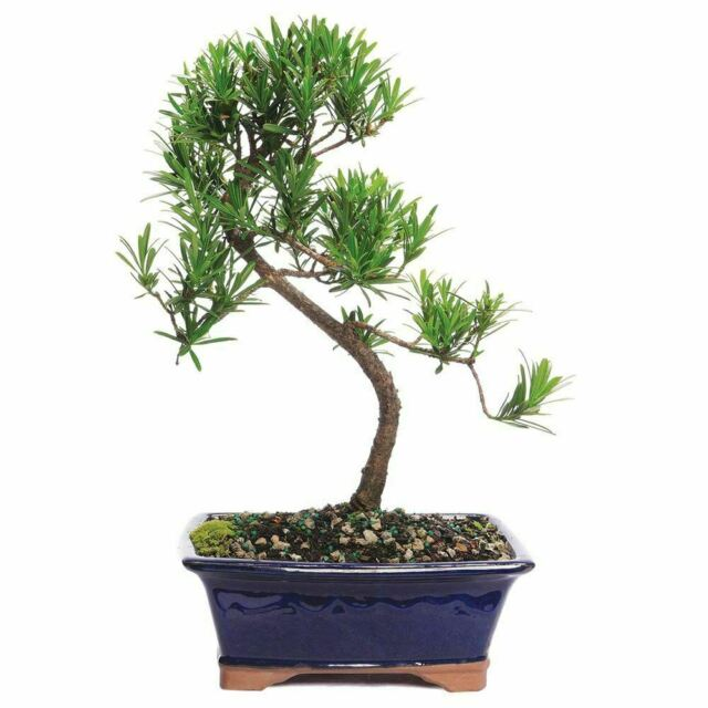 Podocarpus Indoor Bonsai Tree Tropical Bonsai Tree Pm7004 For Sale Online Ebay