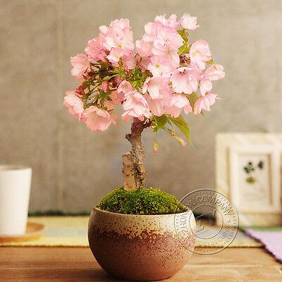 10pcs Japanese Cherry Blossom Seeds Rare Sakura Flower Seeds Home Decorative