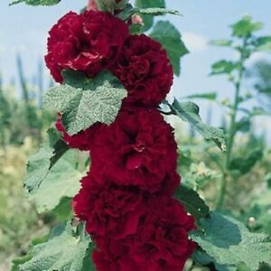 Hollyhock-Seeds-Chaters-Maroon-Holly-Hock-Seeds-50-Seeds-Perennial