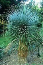 La Yucca Rostrata semi-RARE, densa, sempreverde, Hardy