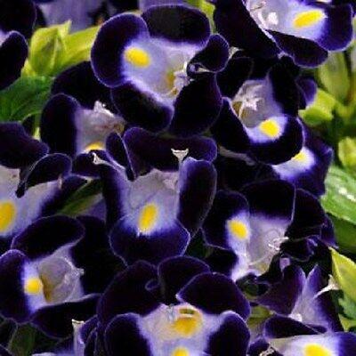 50 Seeds Pelleted Torenia Kauai Deep Blue Pelleted Seeds