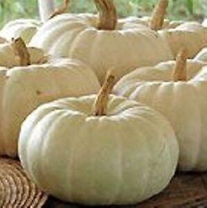 Squash-Winter-Pumpkin-Heirloom-VALENCIANO-Snow-White-Skin-15-SEEDS-Orange-Flesh
