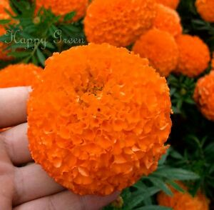 AFRICAN-AZTEC-MARIGOLD-300-SEEDS-Tagetes-Erecta-Double-Tall-Shiny-Orange