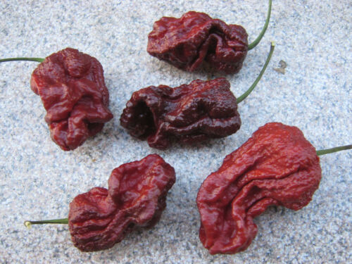 7 Pot Congo-Chocolate 1000 Samen Seeds Chili Chiliseeds BULK