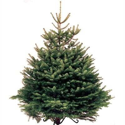 Real Norway spruce 6-8 ft Christmas tree | eBay