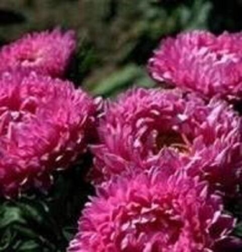 Aster-Milady rose 150 Graines