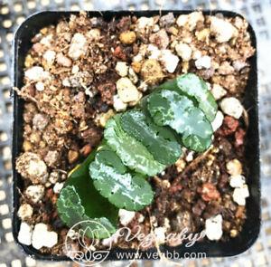 Haworthia-Hokusai-Truncata-Mid-Adult-Rare-Succulent-Plant-in-3-034-Pot