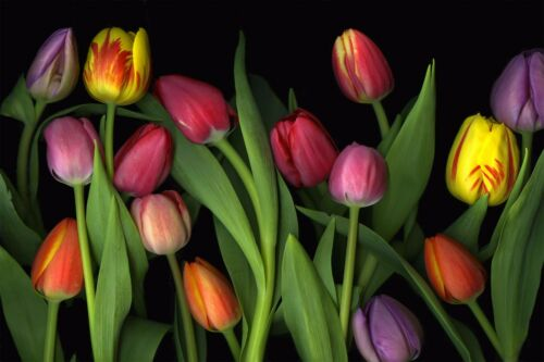Floral Colorful Tulips Flowers Wall Mural Photo Wallpaper GIANT WALL DECOR