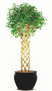 ficus benjamina weeping fig 25 fresh seeds makes an excellent bonsai ebay. Black Bedroom Furniture Sets. Home Design Ideas