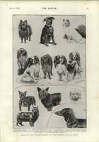 1900 Toy Dog Prizewinners Crystal Palace Show