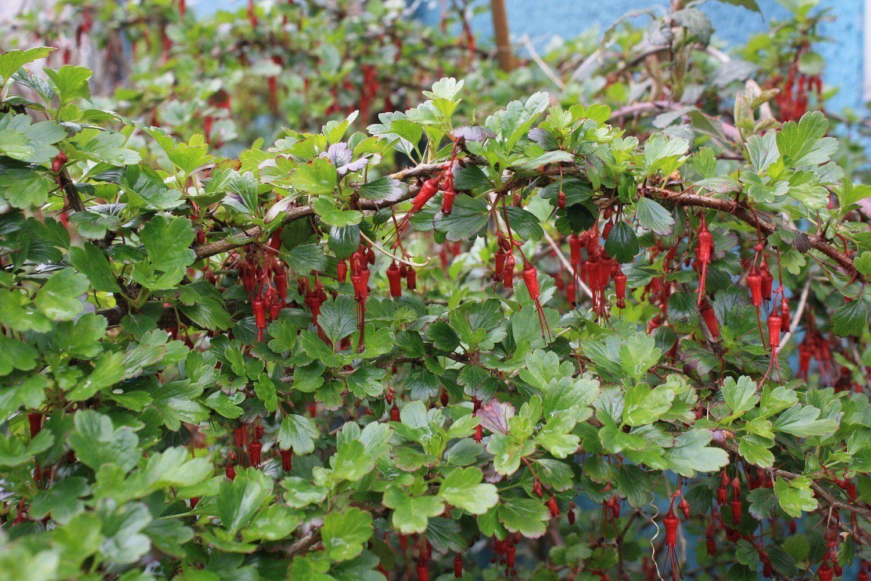 Ribes Speciosum FUCSIA A FIORE RIBES vaso 9cm si prega di leggere la descrizione ed i termini e condizioni