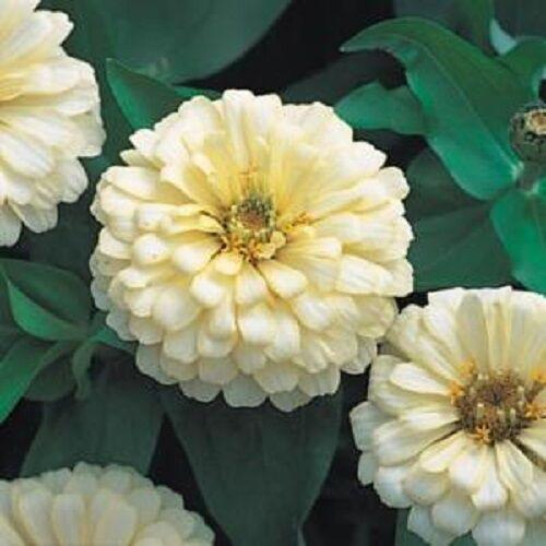 50 Zinnia Seeds Dreamland Ivory FLOWER SEEDS