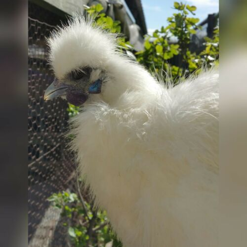 2 Extra  PURE WHITE SILKIE FERTILE HATCHING CHICKEN EGGS  **Free Shipping** 6