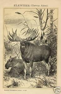 1883 ALCE Animali Antica Stampa Old ENGRAVING Deer - Italia - 1883 ALCE Animali Antica Stampa Old ENGRAVING Deer - Italia