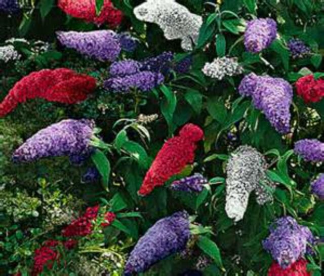 BUTTERFLY BUSH -HUGE MIX-150 SEEDS! THAT'S 150 BUSHES! COMB. S/H! SEE OUR STORE!