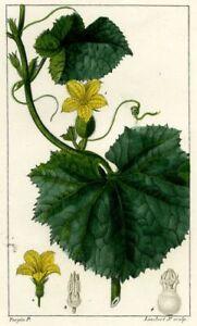Decoration-Botanique-Fleur-Fruit-Melon-gravure-originale-Chameton-XIXeme