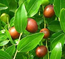 Zizyphus Jujuba Seeds - Jujube Tree - Chinese Date Tropical Fruit