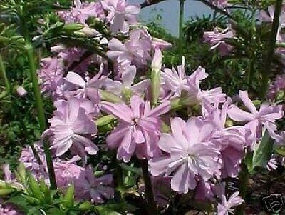 Garten Samen Rarität Exot mehrjährige Blume Staude ZAHNSTOCHER-PFLANZE