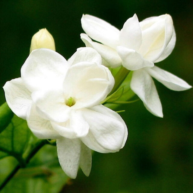 60 PCS Gardenia Cape JASMINE Jasminiodes White Shrub Flower Seeds Plant