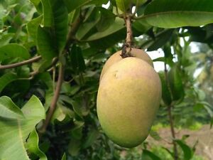 Mango Images Tree