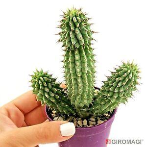 Hoodia Gordonii フーディア Poto6 5cm Giromagi Cactus Succulent