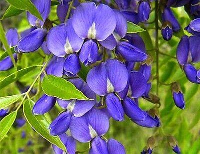 Bolusanthus speciosa 10 Bonsai Seed Tree Wisteria