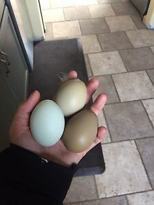 NPIP 6 Olive Egger Hatching Eggs!