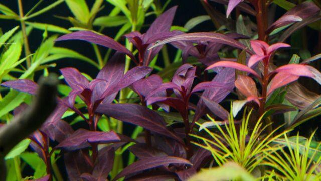 1Touffe de ludwigia purensis rouge plante aquarium rare