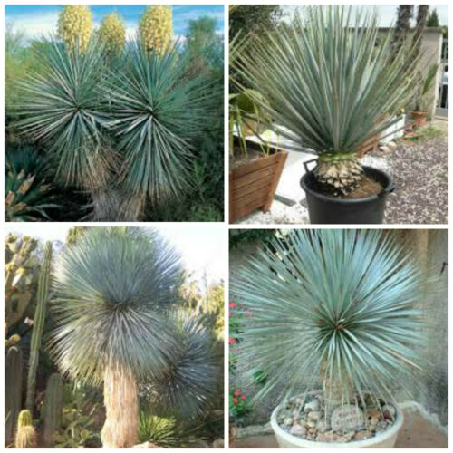 succulents seed R cacti 10 seeds of yucca rigida succulents