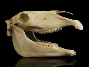 Real Horse Skull Complete W Jaw Taxidermy Skeleton Head Bones