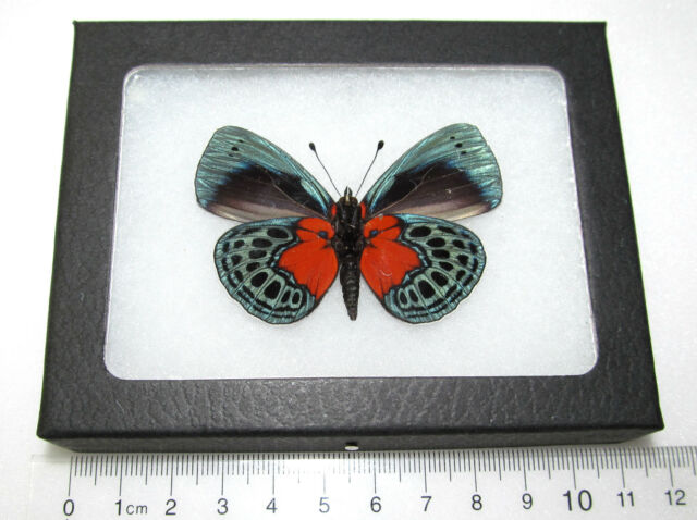 Real Red Blue Peruvian Callithea Optima Verso Framed Butterfly ...