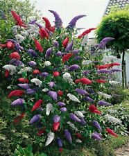 Butterfly Bush -BIG MIX-150 Seeds THAT'S 150 BUSHES! COMB. S/H SEE OUR STORE!