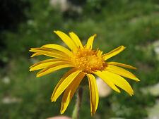 Bergarnika 20 semillas Arnica Montana Arnica bergwohlverleih