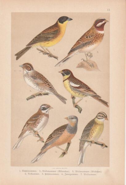 Les Ammer Nain Ammer Waldammer Chromo Lithographie 1891 Ammern Emberizidae-aphie 1891 Ammern Emberizidae