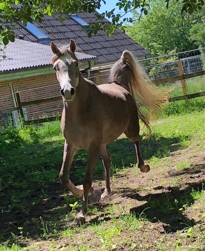 Arabisk fuldblod ox, hoppe, 4 år