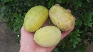 from cultivated varieties Asimina triloba fresh seeds from Russia paw paw